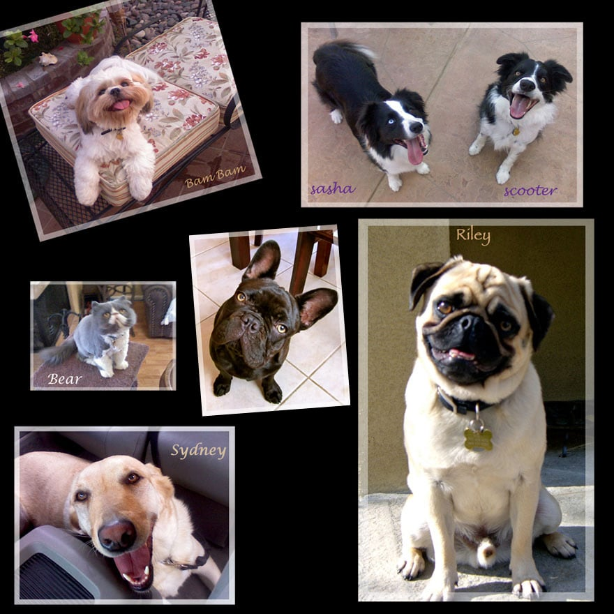 pet sitters Carlsbad CA loves Pugs, and all dog breeds!